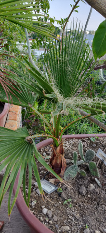 imagenes/arecaceae/WashingtoniaRobusta.jpg