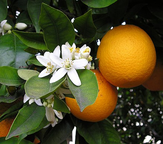 imagenes/rutaceae/CitrusXsinensis.jpg